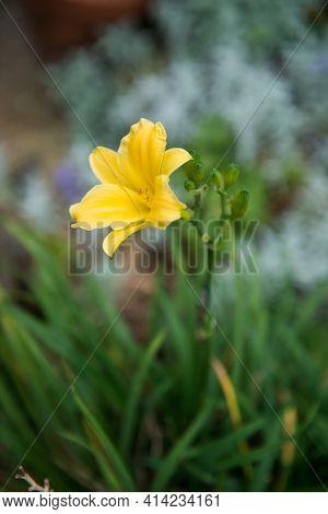 Hemerocallis, Daylily. Yellow Flower On A Green Background.