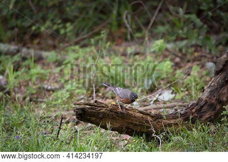 American Robin (turdus Migratorius) Preparing To Hop Off A Rotting Limb On The Ground
