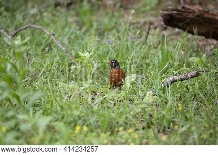 Watchful American Robin (turdus Migratorius) Looking Around Warily As It Forages For Insects In Gree