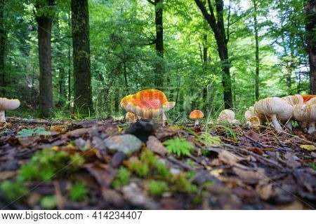 Bright Orange Fungus On Forest Floor In New Zealand.