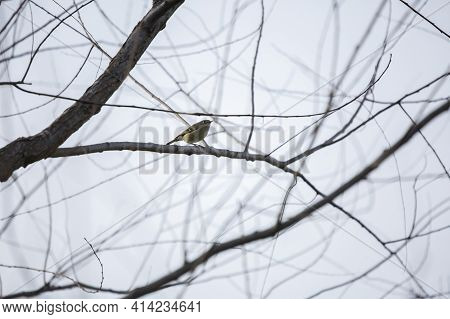 Ruby-crowned Kinglet (regulus Calendula) Looking Around Curiously With A Fiber In Its Mouth
