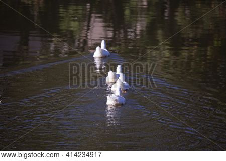 Three Snow Geese (chen Caerulescens) Swimming Away Across A Waterway