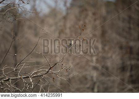 Female Yellow-rumped Warbler (setophaga Coronata) Looking Around Curiously
