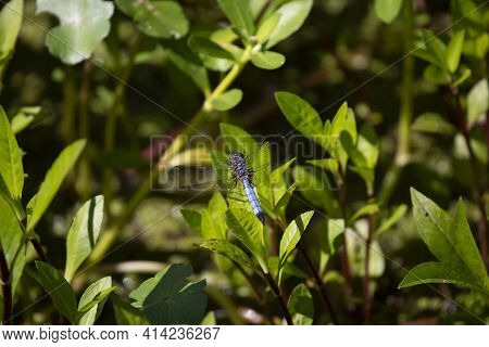 Blue Dasher Dragonfly (pachydiplax Longipennis) On Bright Green Foliage