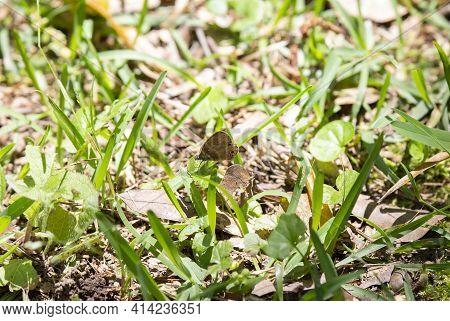 Buckeye Butterfly (junonia Coenia) Perched On Fresh Cut Grass