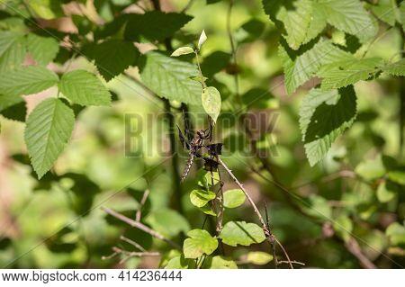 Female Common Whitetail Dragonfly (plathemis Lydia) On A Lush Green Plant