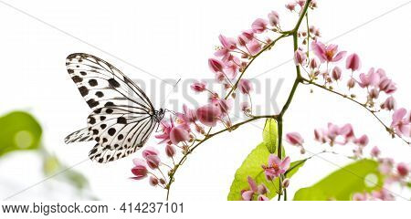 Smaller Wood Nymph Butterfly With Blooming Pink Creepers Flowers. Spring Time Concept.