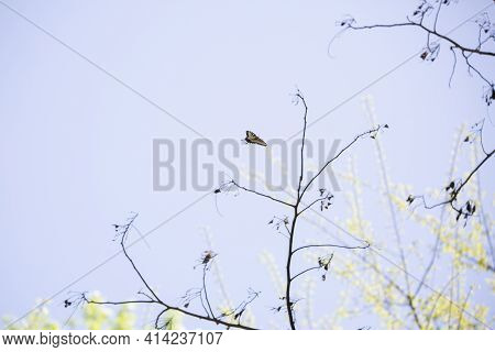 Eastern Tiger Swallowtail Butterfly (papilio Glaucus) Flying Toward A Plant With Sparse Blooms