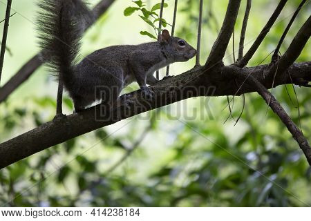 Squirrel Sniffing As It Scurries Along A Limb
