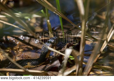 Broad-banded Water Snake (nerodia Fasciata Confluens) Swimming Through The Swamp
