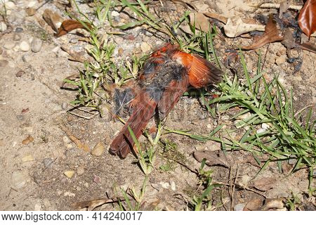 Decaying Body Of A Dead Male Cardinal (cardinalis Cardinalis) In Dried, Sandy Grass