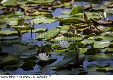 Close Up Of Lily Pads (nymphaeaceae) And Lotus Flowers (nelumbo Nucifera) Floating At The Top Of A L