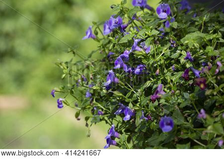 Close Up Of Purple Flowers Growing On A Bush