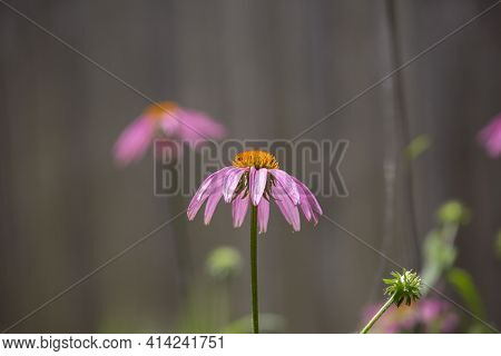 Sunflower With Pink Petals In A Flower Bed