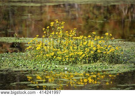 Patch Of Yellow Wildflowers In The Middle Of A Small Lake