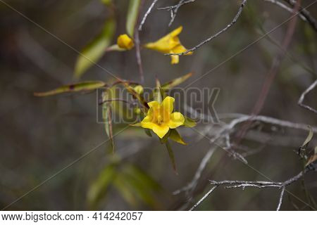 Close Up Of Yellow Bell Flower On A Vine