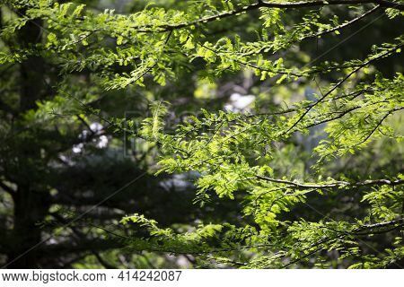 Cypress Tree And Needles At The Edge Of A Forest Opening