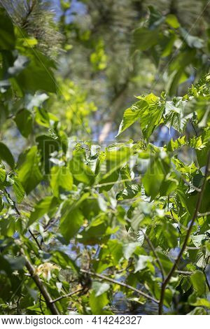 Close Up Of Bright Green Leaves On A Tree