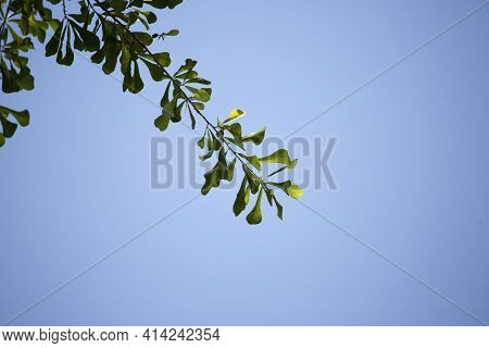 Close Up Of Green, Water Oak Leaves (quercus ) Jutting Into A Blue Sky