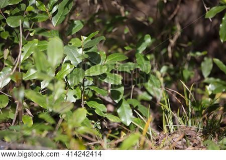 Pretty Green Leaves Growing On A Bush Near The Ground
