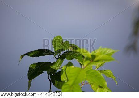 Healthy Green-leafed Semi-aquatic Plant Growing Near A Water Source
