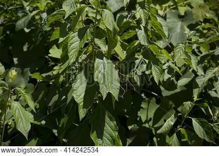 Close Up Of Green, Summer Leaves On A Bush