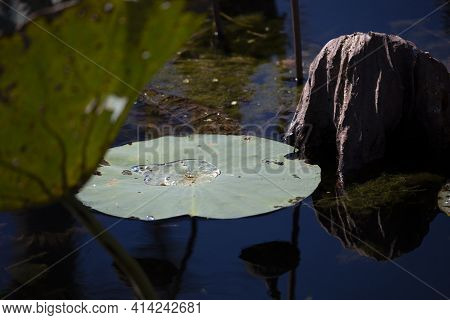 Lily Pad On The Surface Of A Pond With Water In The Center