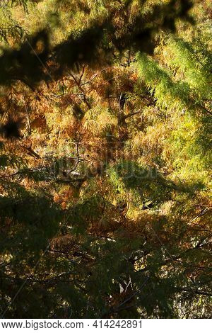 Cypress Tree (cupressus) With Needles That Have Turned Yellow