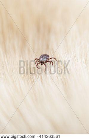 Infectious Dermacentor Dog Tick Arachnid Parasite On Blur Animal Background. Selective Focus