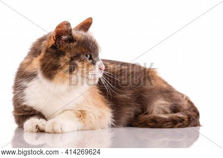 Tricolor Cat Lies On A White Background.