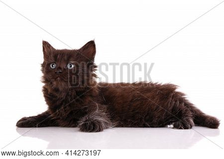 Kitten Lies And Looks Up On A White Background.
