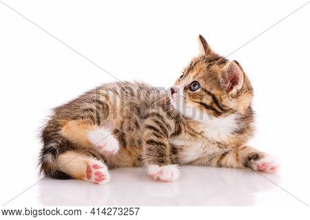 Kitten With Beautiful Fur Lies On A White Background.