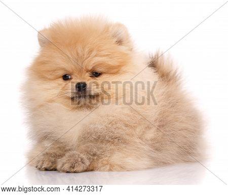Portrait Of A Pomeranian Spitz On A White Background.