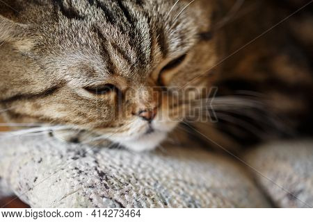 Cute Sleeping Scottish Straight Brown Tabby Cat Face Close Up On Sofa.