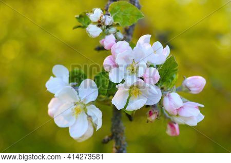 Blooming Branch Of An Apple Tree In The Garden. The Onset Of Spring. Gardens Bloom, Revitalizing Nat
