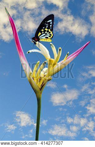 Cairns Birdwing Latin Name Ornithoptera Euphorion On A Parrot's Beak Heliconia Latin Name Heliconia