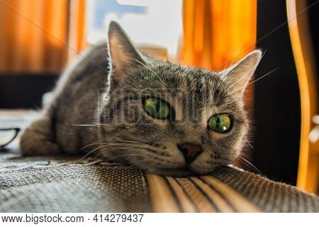 Muzzle Of A Beautiful Green-eyed Cat Close-up. The Gray Cat Is Lying On The Bed. Soft Selective Focu
