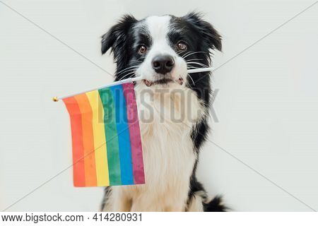 Funny Cute Puppy Dog Border Collie Holding Lgbt Rainbow Flag In Mouth Isolated On White Background.