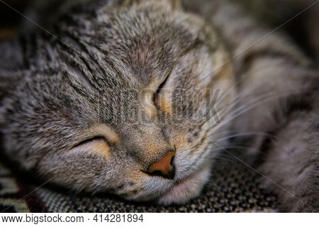 Muzzle Light Grey Sleeping Cat Close Up. Soft Blurred Focus.