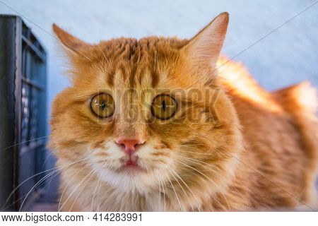Muzzle Of A Beautiful Stray Golden Cat With Orange Eyes Close-up. The Frightened Look Of A Cat.