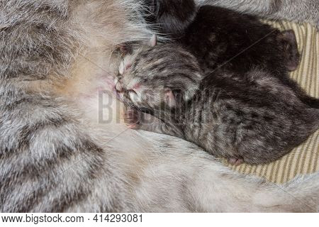A Week-old Gray Kitten Sucks On A Cat's Breast. Breast-feeding Of Newborn Kittens.