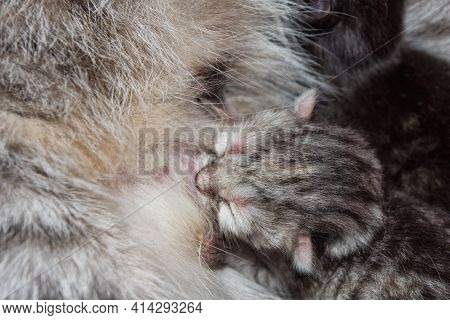 A Week-old Gray Kitten Sucks On A Cat's Breast. Breast-feeding Of Newborn Kittens. Kitten Close Up.