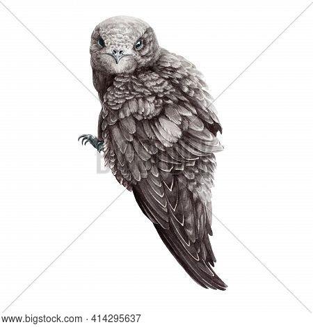 Common Swift Realistic Illustration. Hand Drawn Watercolor Wild Bird. Sitting Small Swift. Swallow B