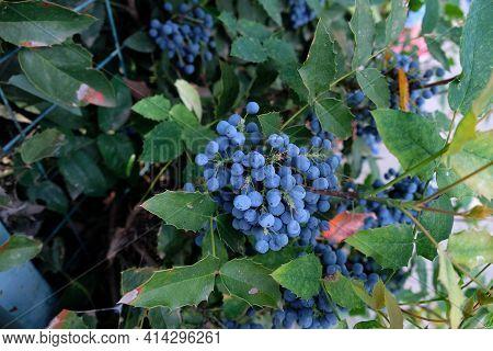 Mahonia Is An Evergreen Shrub. Mahonia Fruits, Blue Berries On An Ornamental Shrub In The Garden.