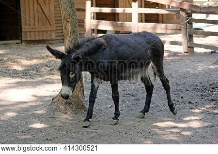 A Black Donkey Walks On The Ground In The Zoo. A Small Donkey With Long Hair In Autumn.