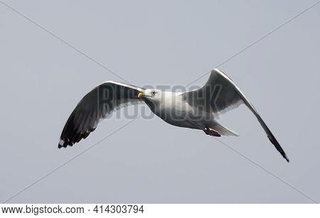 Portrait Of White Seagull Flying In The Sky. Flight Of Gull.