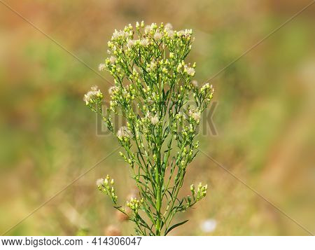 Canadian Horseweed Or Canadian Fleabane, Erigeron Canadensis