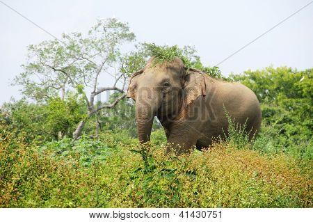 Elephant in the grass, Minneria national park, Sri Lanka