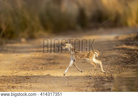 Spotted Deer Or Chital Or Cheetal Or Axis Axis Fawn Running And Crossing Forest Track In Morning Lig