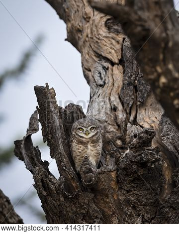 Spotted Owl Or Owlet Or Athene Brama Out Of Nest Perched On Tree During Safari At Forest Of Central